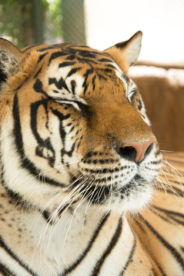 Tiger Close Up Portrait. In zoo stock photography