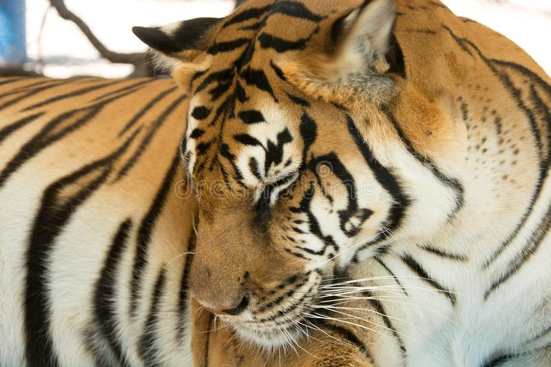 Tiger Close Up Portrait. In zoo royalty free stock images