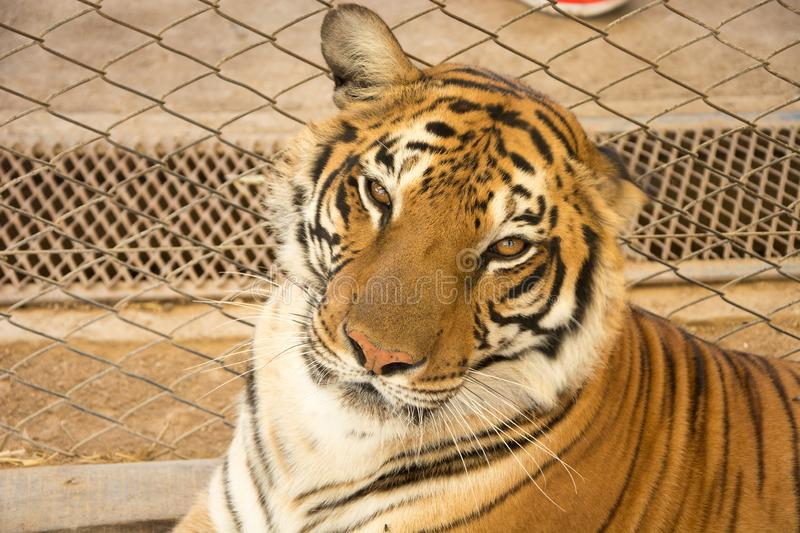Tiger Close Up Portrait royalty free stock photography