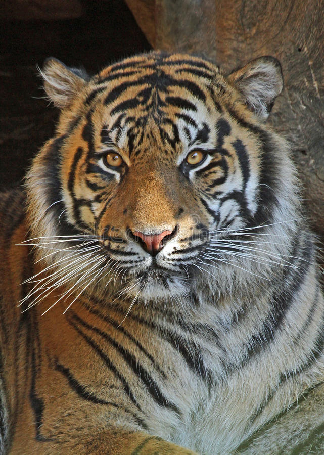 Tiger. Close Up Portrait Of Tiger Face royalty free stock image