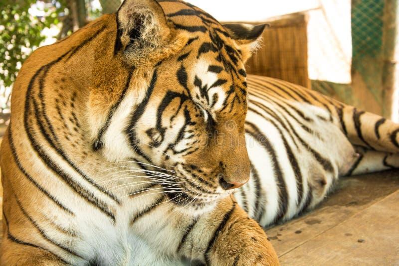 Tiger Close Up Portrait stock photo
