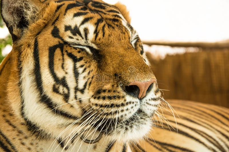 Tiger Close Up Portrait stock photography