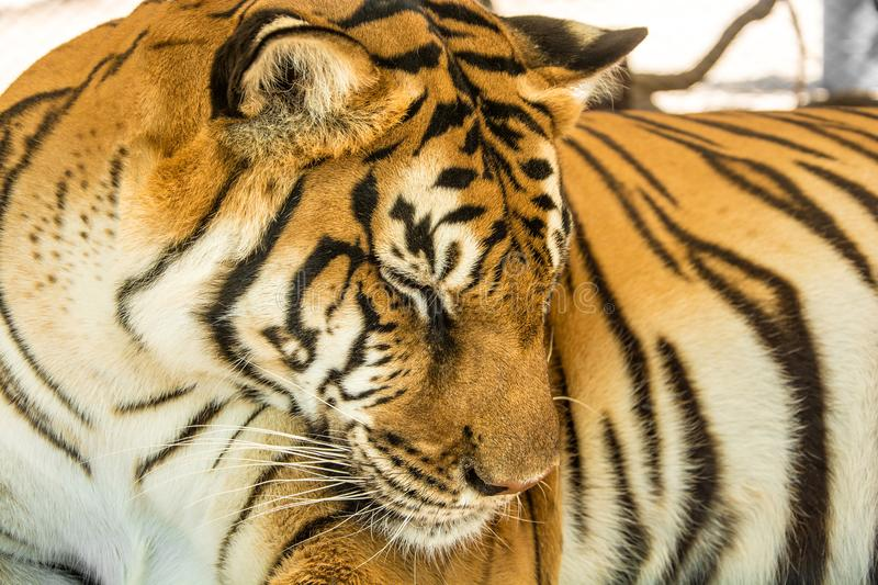 Tiger Close Up Portrait royalty free stock photo