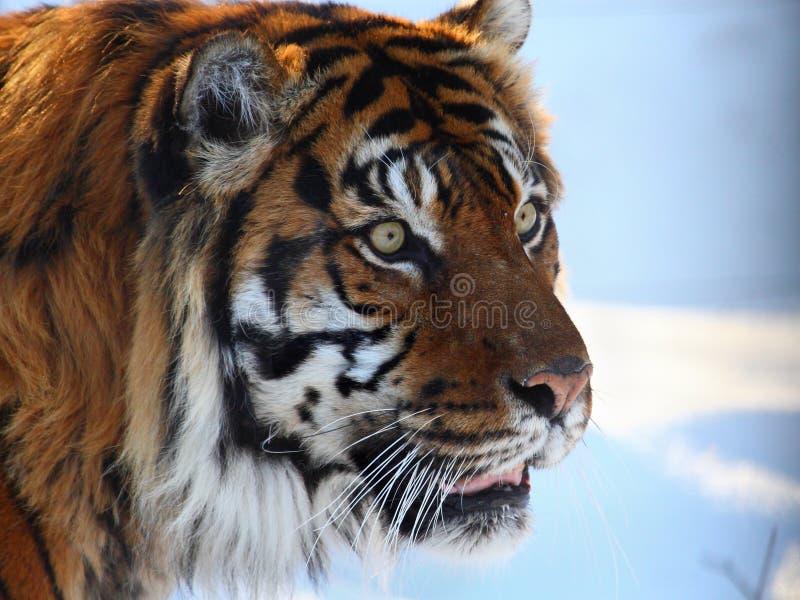 Tiger. Close up shot of tiger portrait royalty free stock image