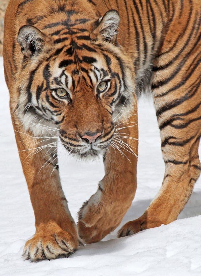 Tiger. Close Up Of Sumatran Tiger Stepping In Snow stock photography