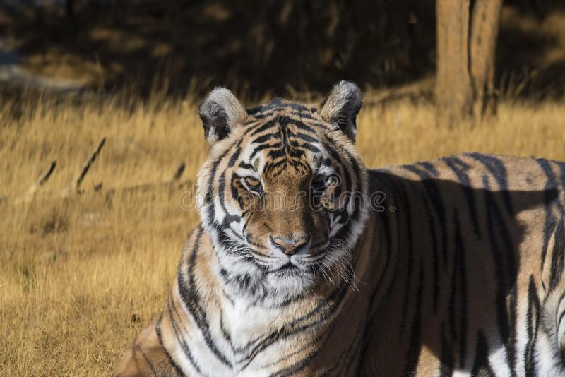 Tiger closeup portrait staring intently in grassy meadow. Bengal tiger closeup portrait with golden eyes staring intently in grassy meadow royalty free stock photo