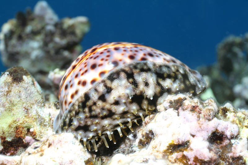 Tiger Cowrie stock photo