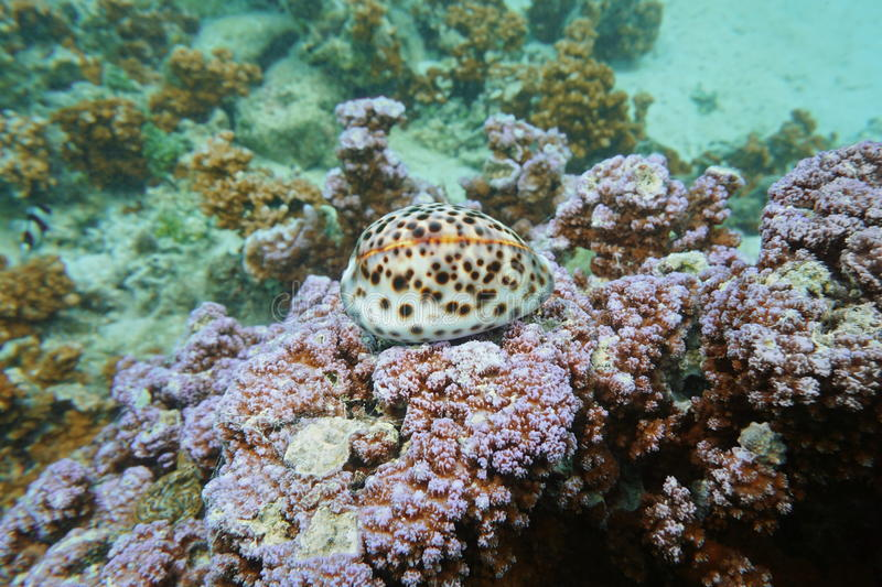 A tiger cowrie sea snail Cypraea tigris underwater royalty free stock photography