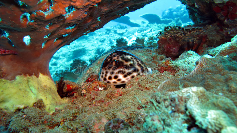 Tiger Cowrie Shell stockfoto