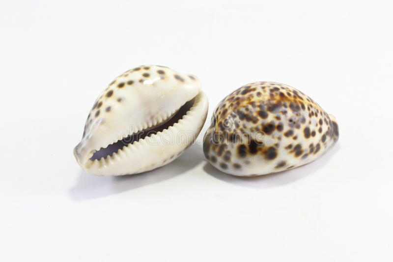 Tiger Cowry stock foto's