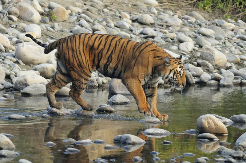 Tiger crossing stream in India stock images