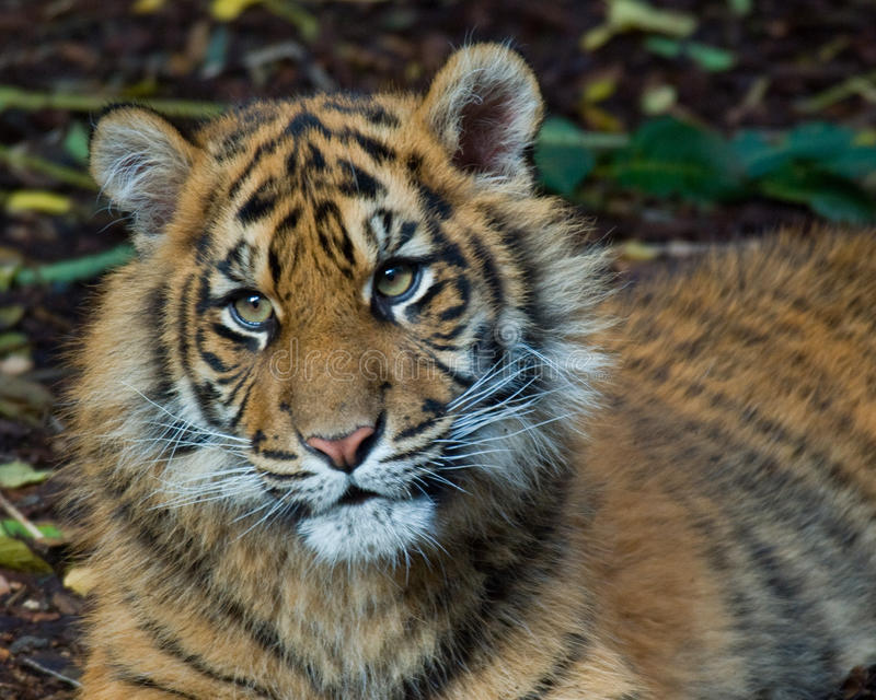 Tiger - Cub lizenzfreies stockbild