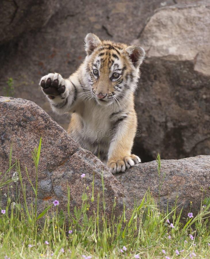 Tiger Cub lizenzfreie stockfotos