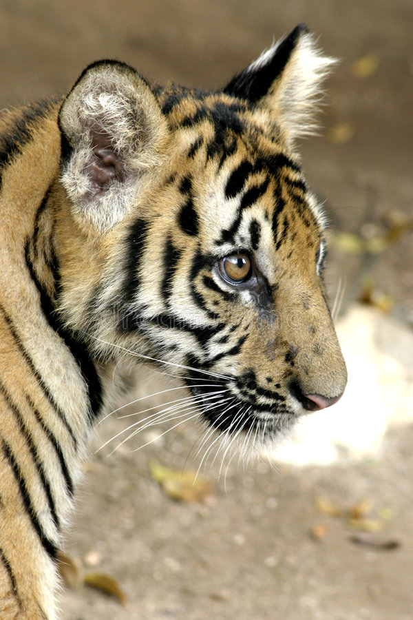 Download Tiger Cub Royalty Free Stock Photos - Image: 190428