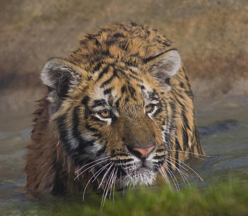 Download Tiger cub stock photo. Image of nature, beautiful, angry - 21408068