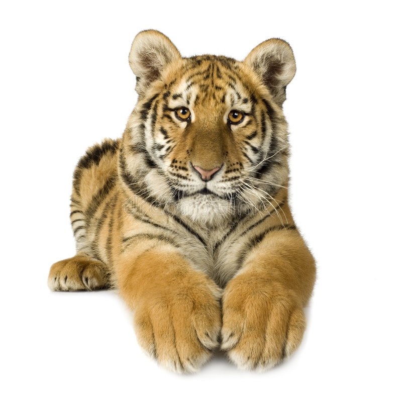 Download Tiger cub (5 months) stock image. Image of striped, undomesticated - 4243689