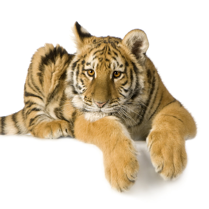 Free Tiger Cub (5 Months) Royalty Free Stock Photo - 4246535
