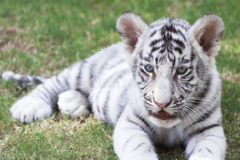 Download Tiger cub stock photo. Image of dangerous, wild, white - 8813206