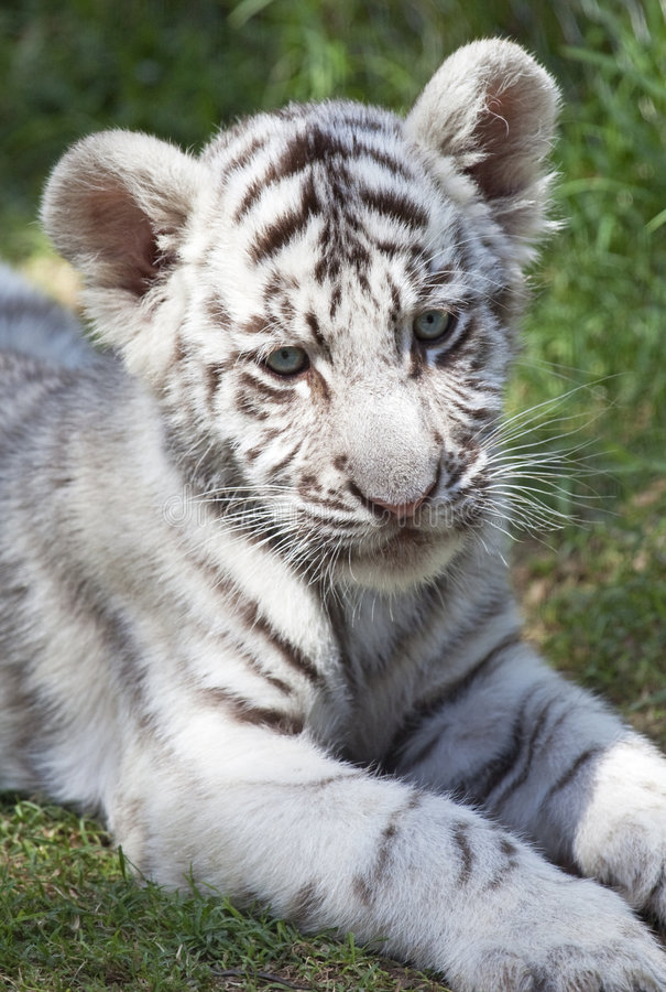 Download Tiger cub stock photo. Image of furry, sweet, dangerous - 8813254