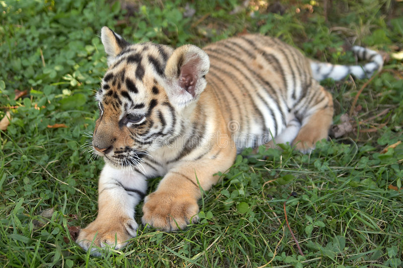 Download Tiger cub stock image. Image of nature, wild, grass, environment - 9272971