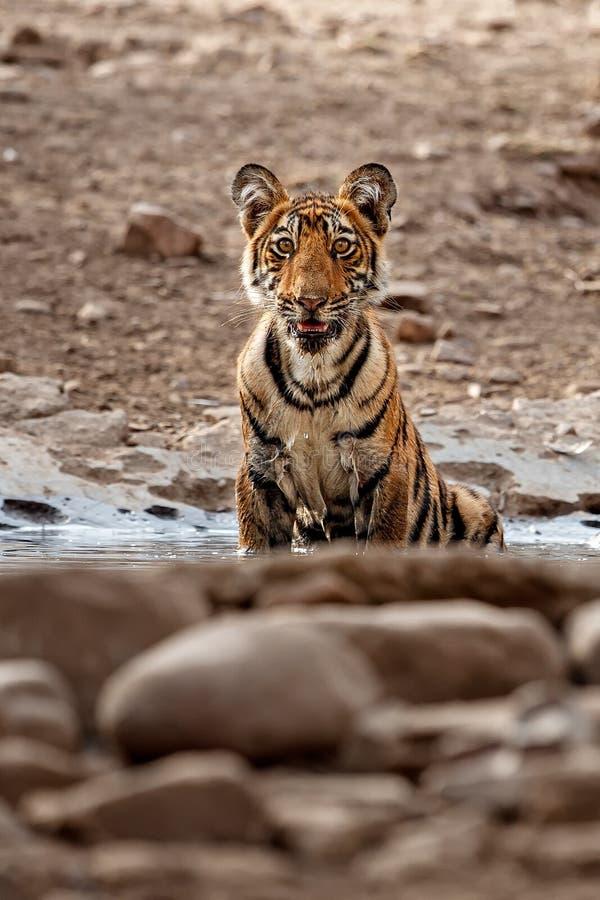 Tiger cub in a beautiful golden light in the nature habitat of Ranthambhore National Park. In India, cute, royal bengal tiger, panthera tigris tigris royalty free stock image