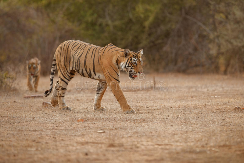 Tiger cub in a beautiful golden light in the nature habitat stock photography