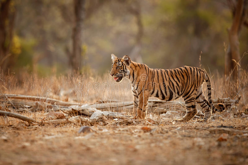 Tiger cub in a beautiful light in the nature habitat of Ranthambhore National Park royalty free stock images