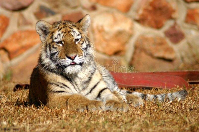 Tiger cub laying down stock images