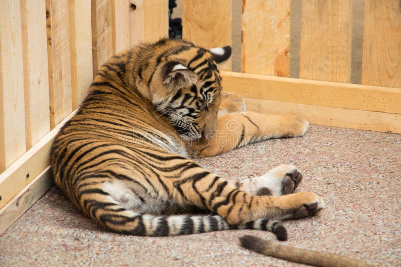 Tiger cub. royalty free stock images