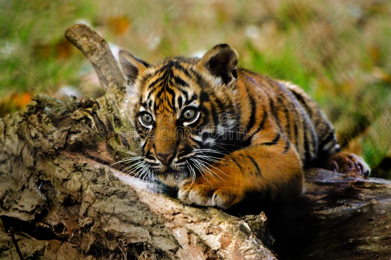 Tiger cub from Paignton Zoo. Tiger cub portrait from Paignton Zoo royalty free stock photo