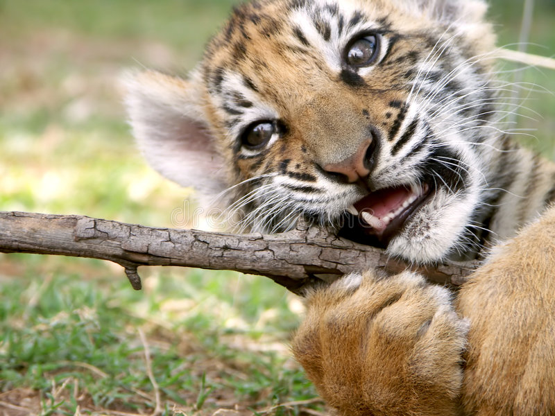 Download Tiger cub at play stock image. Image of baby, play, bite - 363085
