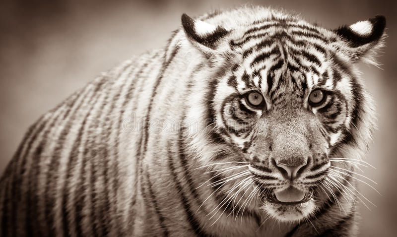Tiger cub portrait stock image