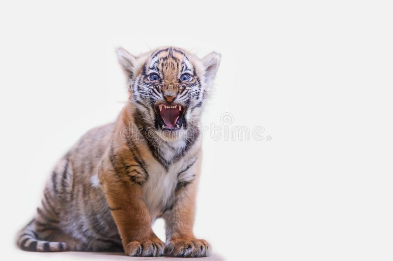 Tiger cub roar on white isolated background stock photo
