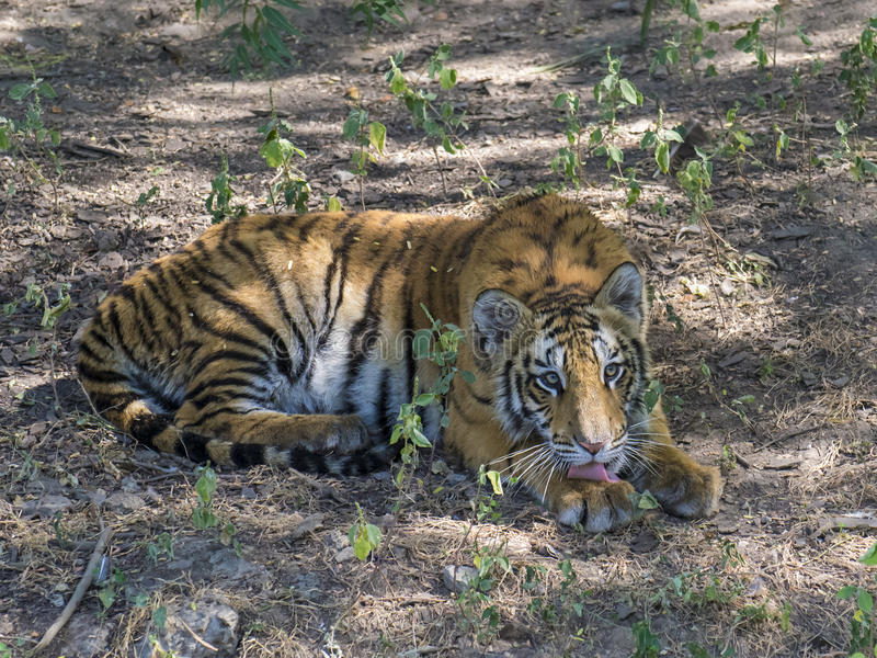 Tiger Cub. Sitting and resting in the field stock photography