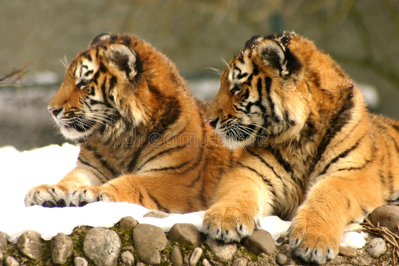 Tiger Cubs stock foto's