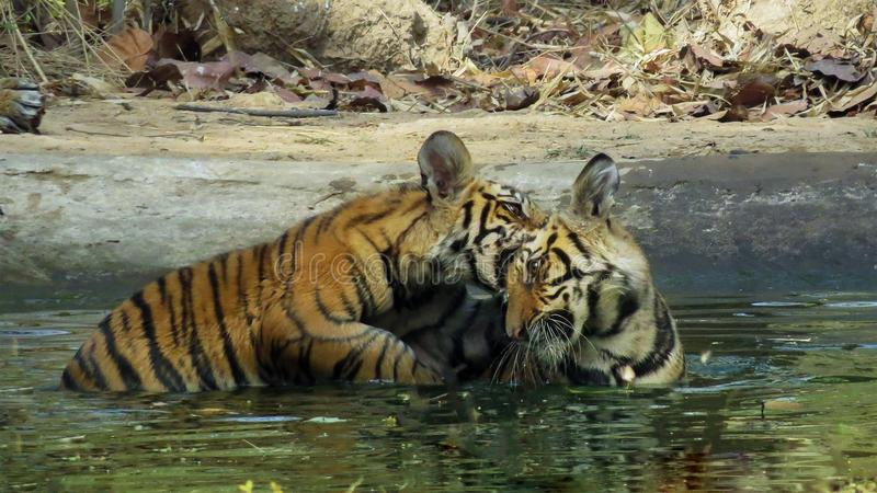 Tiger cubs playing in water royalty free stock photo