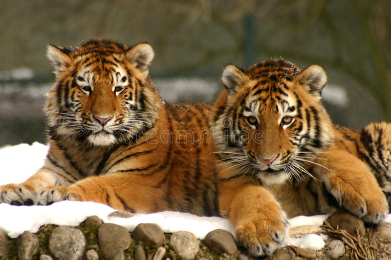 Tiger Cubs. Profile view also available in my portfolio stock images