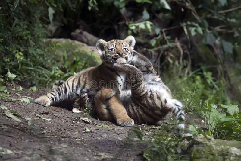 Tiger cubs royalty free stock image