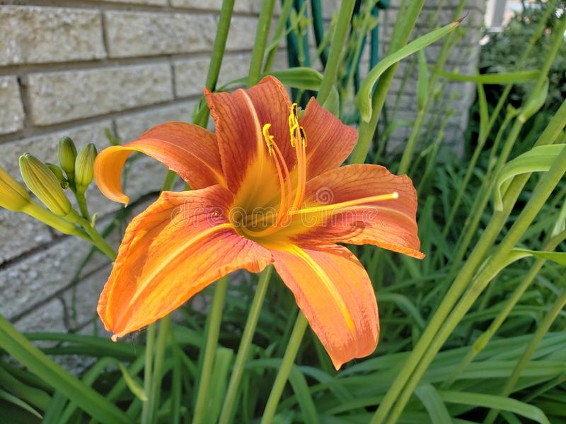 Tiger Day Lily royalty free stock photography