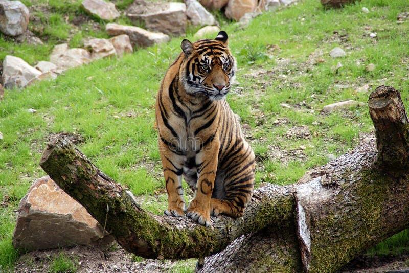 Tiger, der auf Baumast sitzt stockfotografie