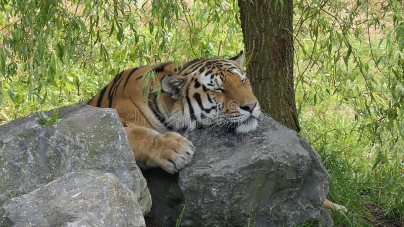 Tiger, der auf Felsen döst stockfoto