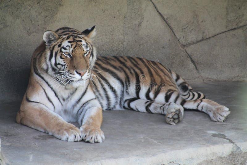 Tiger, der in der Sonne sich entspannt stockbild