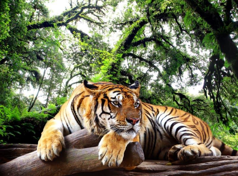 Tiger, der etwas auf dem Felsen schaut lizenzfreies stockbild
