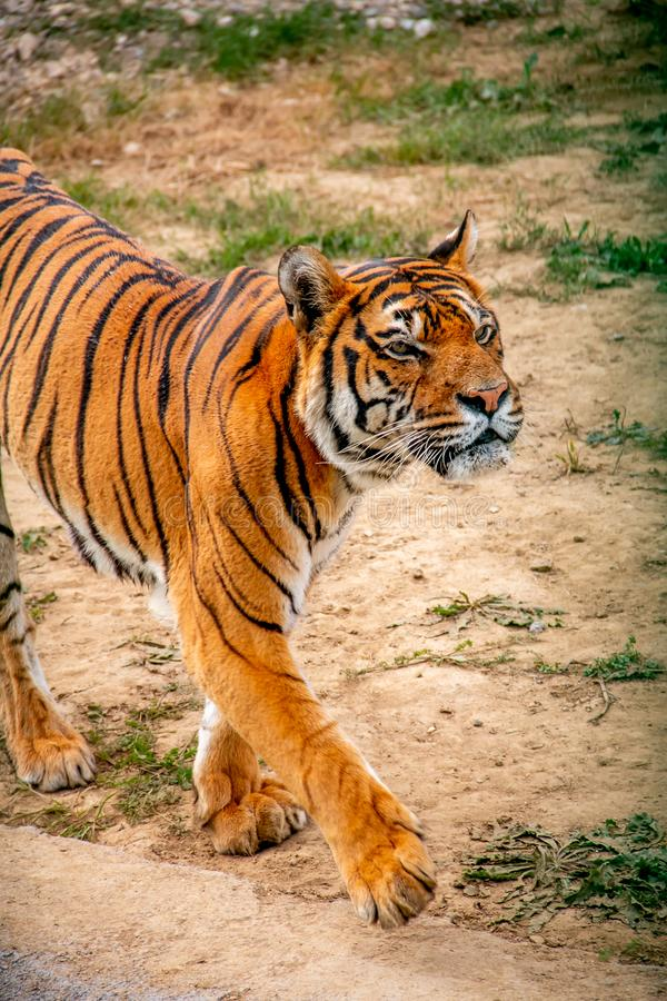 Tiger, der herum geht stockbild