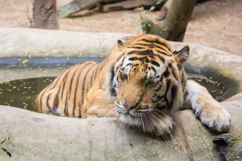 Tiger, der im Wasser sich entspannt stockbild