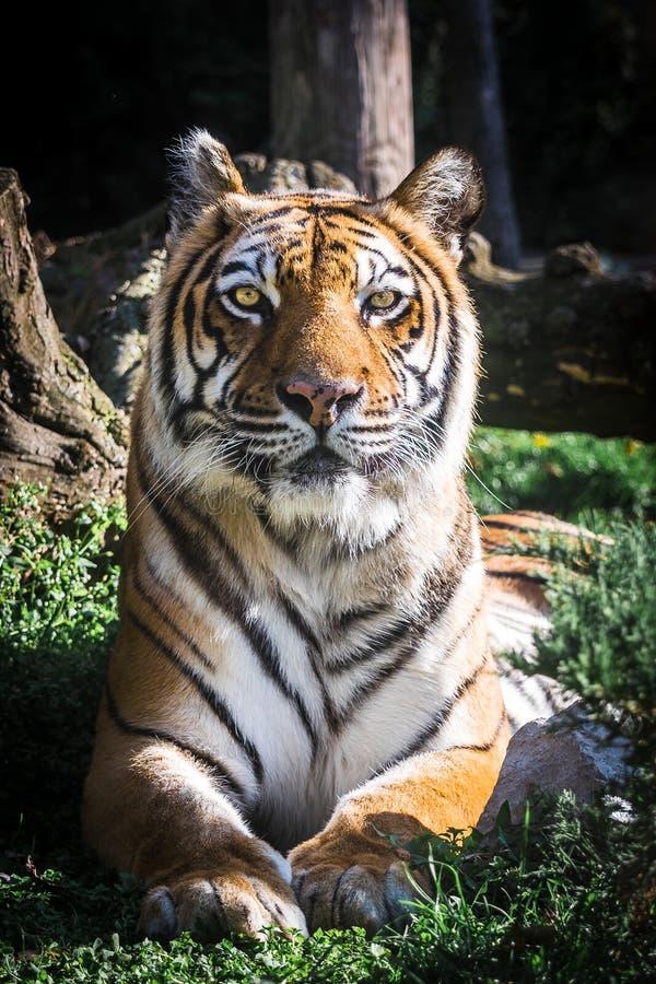 Tiger, der Kamera betrachtet Porträt vertikal stockbild