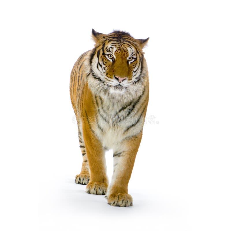Tiger, der oben steht stockbild