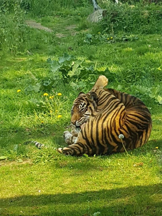 Tiger, der sich leckt lizenzfreie stockfotos