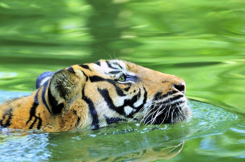 Tiger der Sumatra-Schwimmens im Dschungel lizenzfreies stockfoto