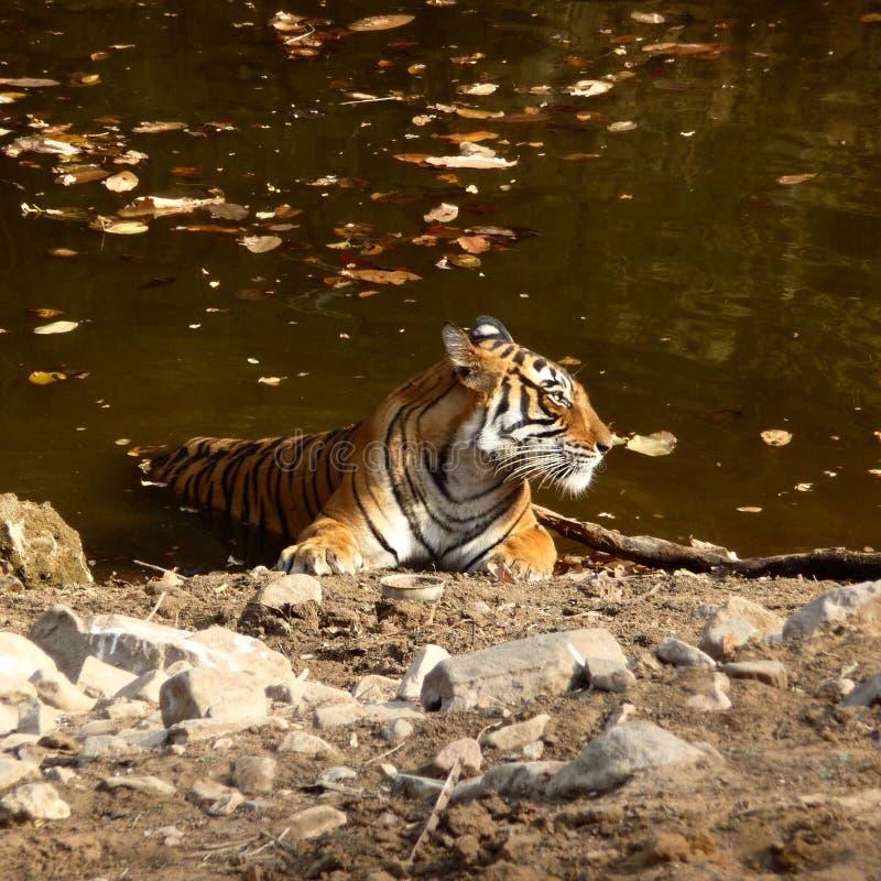 Tiger der wild lebenden Tiere lizenzfreie stockfotos